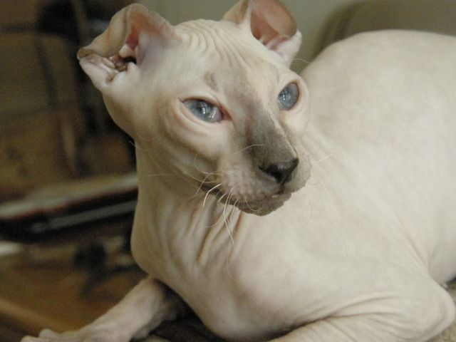 Hailing From The Ukraine Is The Levkoy Cat These Are A Mix Between Cats With Fo Hairless Cat Purebred Cats Cat Personalities