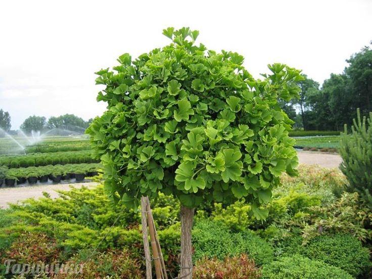 Гинкго двулопастное — G. biloba L. По мнению специалистов, гинкго — реликт японо-китайского происхождения. Предполагают, что родиной его являются горные леса Северо-Восточного Китая. Растет оно там в теплом и влажном климате. Диаметр стволов растущих там деревьев достигает 1,5-2 м. Листопадное, двудомное дерево, достигающее 30-45 м высоты, со стройным коричнево-серым стволом. Крона молодых растений широкопирамидальная, с мутовчатым расположением основных ветвей, отходящих от ствола почти под…