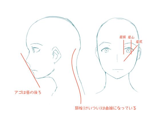 イラストレーターとしての頭部の知識    横顔も描き慣れていないと難しいですね。アゴは唇より後ろにあります。唇より前に描くとしゃくれているようになってしまいます。はじめに鼻からアゴまで直線を描いて、それを目安に描いていくと良いです。    人体は基本的に曲線でできています。頭の重さはかなり重たいので、それを支えるために頚椎も曲線になっています。    眉の描き方は人それぞれだと思いますが、一つの目安として加えました。女性が実際に眉を描く時、どのように描いているかを参考にしました。