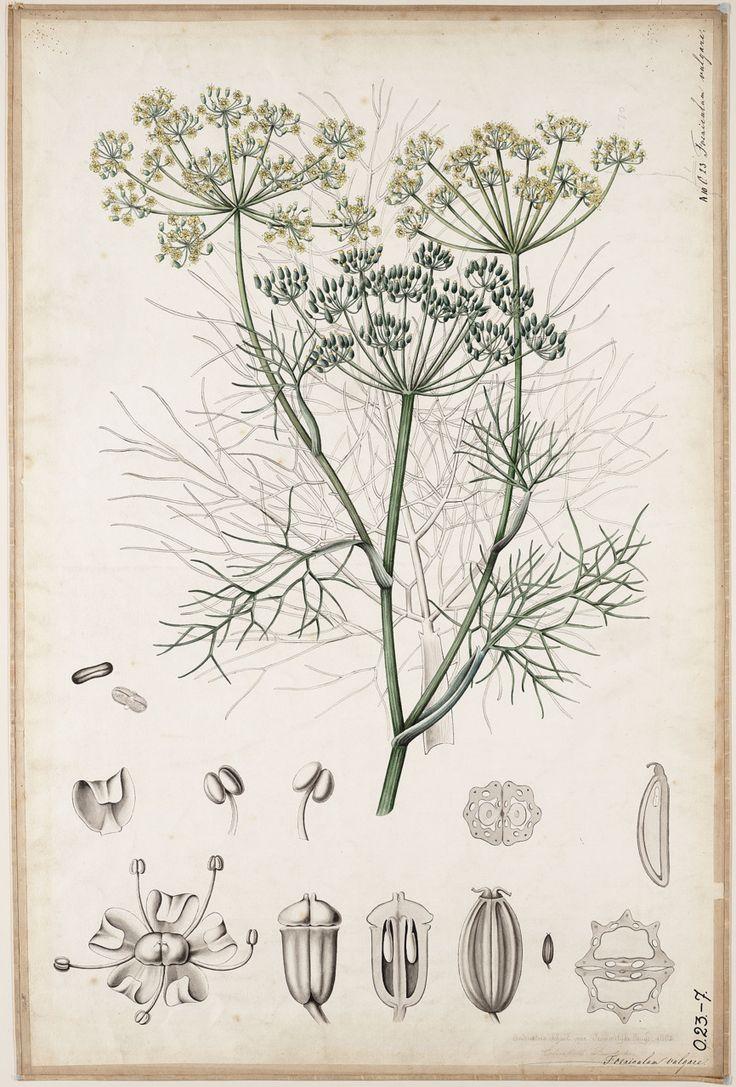 Foeniculum vulgare    from Duisdeiker, Elisabeth, Industrieschool voor Vrouwelijke Jeugd, 1882  via: GVNL