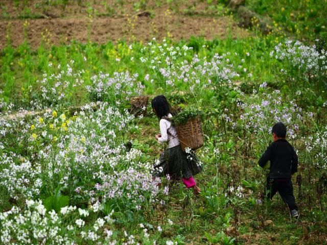 Sắc Hoa Xuân nở rực rỡ trên cao nguyên đồng văn Hà Giang   Du lich ha noi, các tour ha noi
