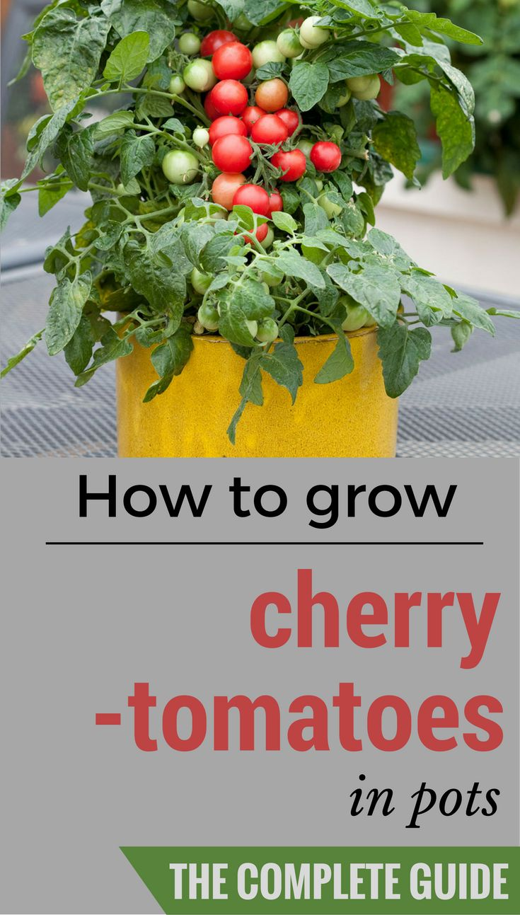 How to grow cherry tomatoes in pots (the complete guide).