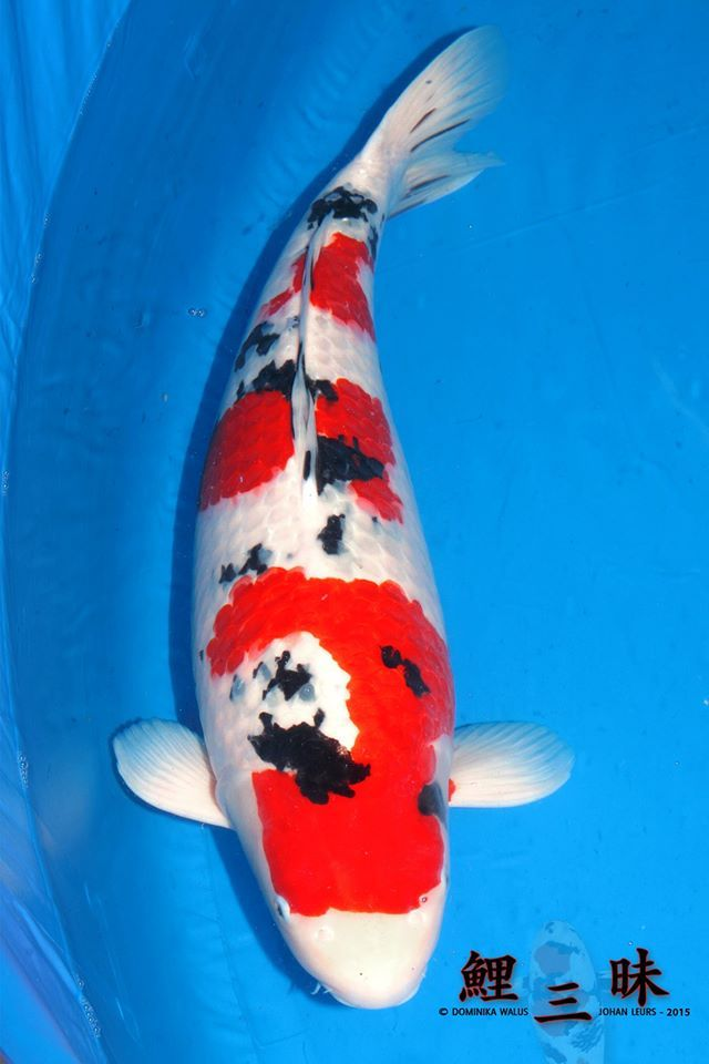 653 best pond fish koi images on pinterest nature for Carpe koi rare