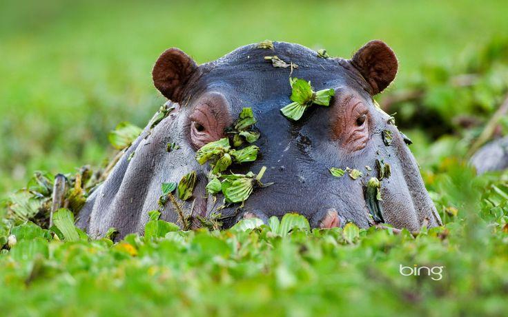 Hippopotamus, Masai Mara National Reserve, Kenya | Flickr - Photo ...