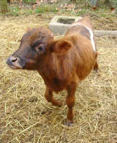 Mini cows - they're small enough for the kids to handle, and can produce up to a gallon and a half of milk a day. And they're stinkin cute!