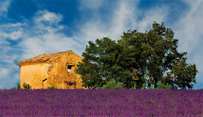 lavender fields in provence...