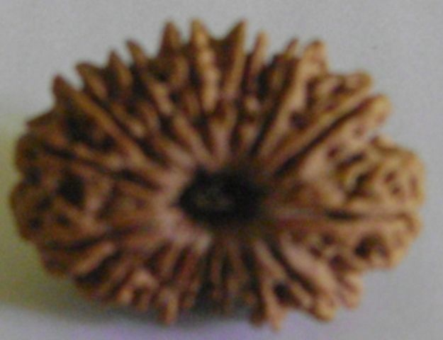 15 face rudraksha         15 mukhi  Origin-Nepal Size- 24 cm approx Weight—2.22gms Colour-Dark  Rate- INR Rs.35000 Courier-No charge in India Payment-cash/bank transfer Contact-mobile/email/whatsapp/skype Seller-Bhawishya Astro Research Center {barc},Bhopal-m.p             Add-17-shopping center,gautam  nagar