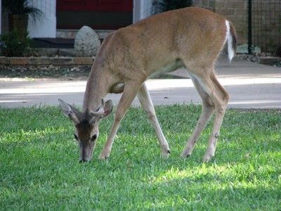 How To Keep Deer From Eating Plants: Garden Deer Protection For Plants - Trying to keep deer out of the garden can be frustrating but with a little know how and ingenuity, your efforts could be well worth the trouble. Read here to learn how to keep deer out of gardens.