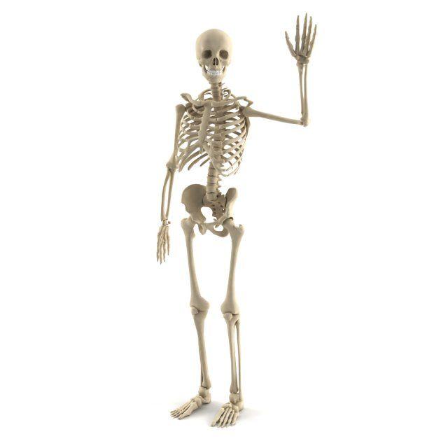 Human skeleton 3D Model .max .c4d .obj .3ds .fbx .lwo .stl @3DExport.com by megagers