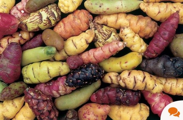 Cultivated by the Incas since ancient times, oca is a potato-type crop that's blight resistant and easy to grow, writes Michael Kelly.