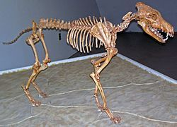 """The dire wolf (Canis dirus, """"fearsome dog"""") is an extinct species of the genus Canis. It is perhaps one of the most famous prehistoric carnivores in North America along with its extinct competitor Smilodon, the """"saber-toothed cat"""". The dire wolf lived in the Americas during the Late Pleistocene epoch (125,000–10,000 years ago). The species was named in 1858, four years after the first specimen had been found. Two subspecies are recognized, these being Canis dirus guildayi and Canis dirus…"""