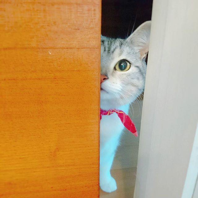 『みぃ、㊙みちゃった~✴』 .  お友達の ティガたん💗@chobibabu さんから、#oneeyechallenge バトンを頂きました。 シュクルちゃん💗@mafin4kg さんから頂いた#半顔バトン を再チャレンジさせてもらいます✨ ありがとうございます💖 . . お返事前の投稿すみません。 素敵な週末をお過ごしくださいね🍀 ( ^-^)ノ∠※。.:*:・'°☆.:*:・'°☆ #国境なき猫の輪団 #PMENS #にゃんこ#ねこ#ネコ#猫#猫好き#愛猫#猫好きさんと繋がりたい#みんねこ#ペットスマイル #ピクネコ#ペコねこ部#ねこ部 #ねこら部#にゃんだふるらいふ #にゃんすたぐらむ#土アップ祭 #土あっぷ祭#家政婦のまるまる #25祭 #cat#kitten#picneko#meow #catsofinstagram#catstagram