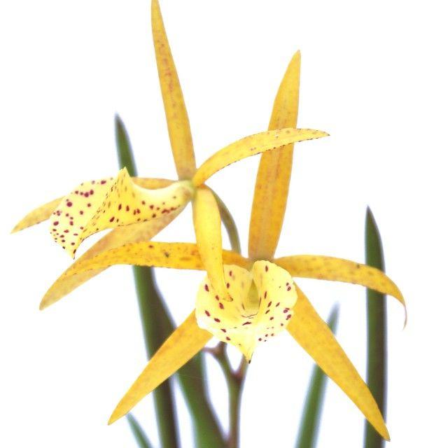 Bl. (Brassolaelia) Yellow Bird. This plant is crossed ...