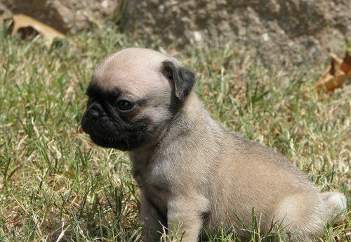 Adopt A Pug For Free Male Pug Puppy For Free Adoption