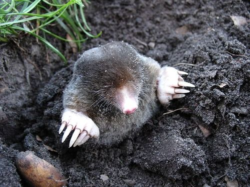 mole.... they're so cute in a weird eyeless way