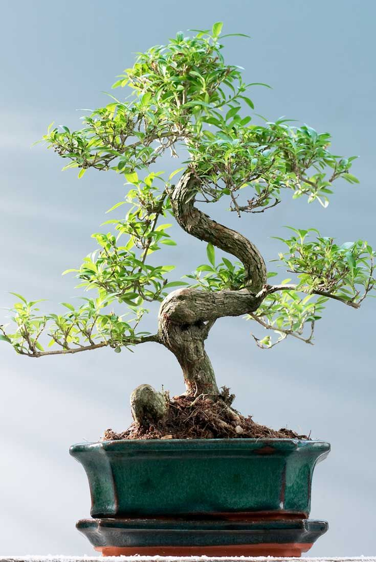 Save £25.00 on a Bonsai Tree! http://www.gardeningexpress.co.uk/Bonsai_tree  #xmas PRIZE DRAW - Win a Lucky Bamboo Tower in Oriental Dragon Pot today + #iPad