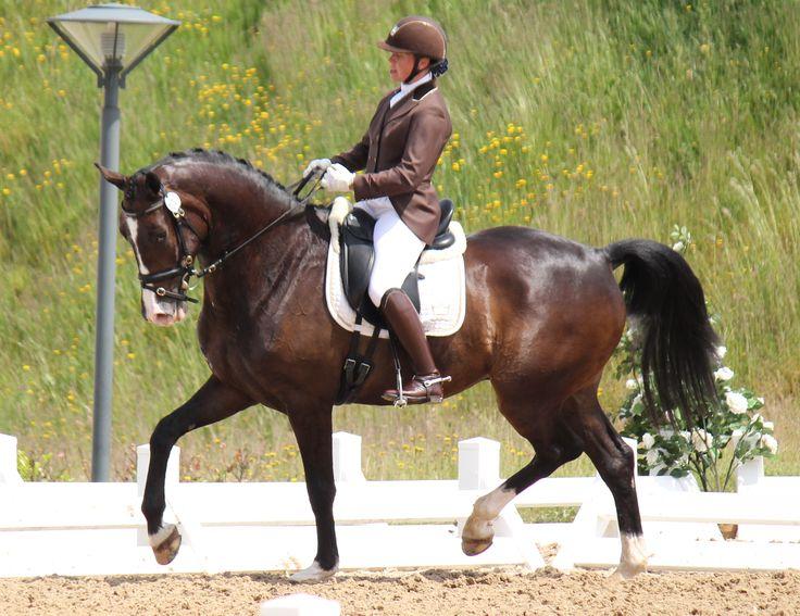 Der Strauss - 5 års championat - Middelfart Strauss er en letridelig vallak, med stor kapacitet og gangformåen. Han viser ligeledes stort talent i de samlende øvelser.  Der Strauss er ud af en stærk hoppestamme der bl.a har lavet GP hesten Lutz H samt talrige fløj føl ved diverse følskuer. #Stutteri #Heste #ridning #hesteridning #dressurridning