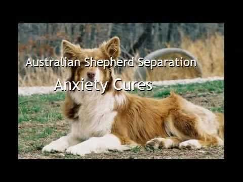 Australian Shepherd Separation Anxiety Cures #dog #shepherd #animal