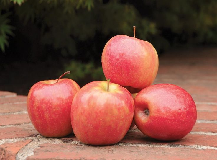 Trixzie® Pink Lady™-cv.'Cripp's Pink' Miniature Apple great for small backyards Available #bareroot