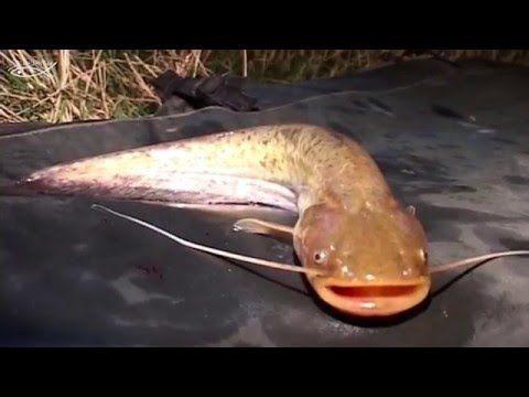 Secretele pescuitului la somn cu feromoni - YouTube