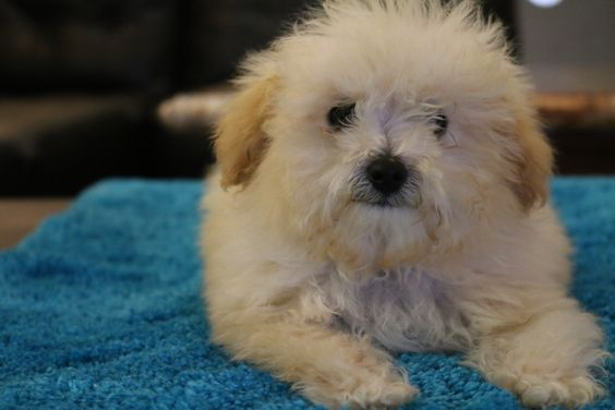 Puppies For Sale - Tiny Toy Goldendoodle, Micro Mini Goldendoodle, Mini Goldendoodle & Medium Goldendoodle Puppies For Sale in Los Angeles County, Southern California! English Teddy Bear Mini Goldendoodle Puppies For Sale In The South Bay!