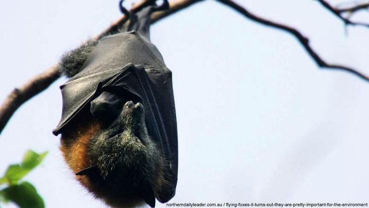 #Megabat #flyingfox #fruitbat it turns out they are pretty important for the environment http://www.batsrule.info/2017/03/flying-foxes-it-turns-out-they-are.html #batsrule #infoonbats #bats #batissues    The Grey-headed flying fox is one of many threatened Australian species.    There is a considerable list of threats, some humans are responsible for and others relating to other wildlife.
