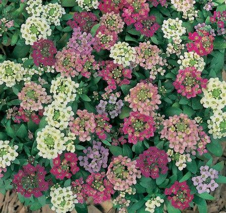 Alyssum Mixed #pohlmansnursery #10pots #gardening #australia