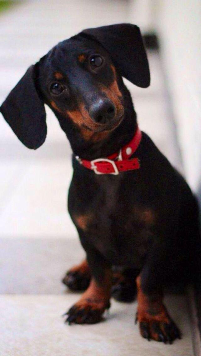 ❤️ #teckel #dachshund  #dackel
