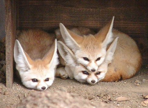 got fox on fox on fox: Cute Animal, Animal Baby, Hilarious Pictures, Inari Foxes, Baby Foxes, Baby Fennec, Animal Photos, Fennec Foxes, Cutest Animal