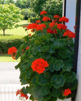 Kitchen Window Box - Geraniums are my favorite!