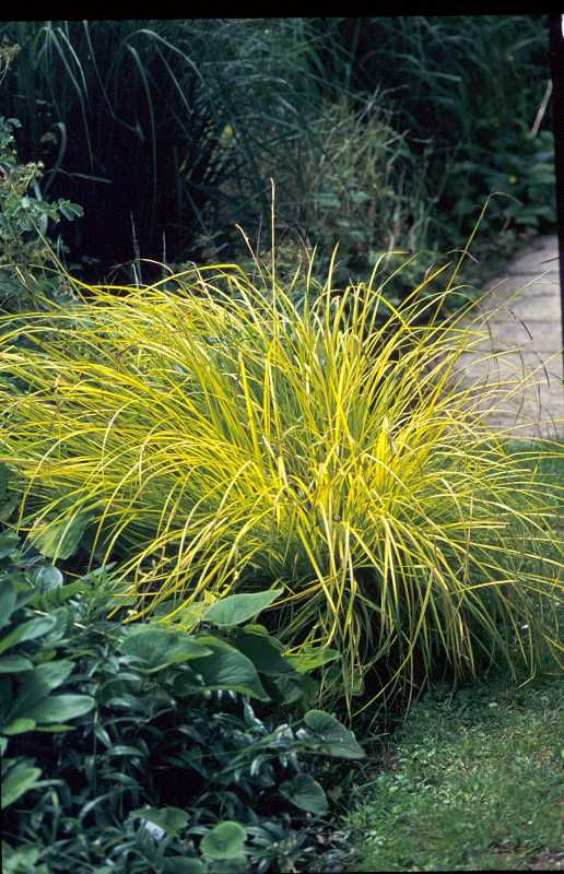 Carex elata 'Aurea'  Bowles' golden sedge  Rush or Sedge