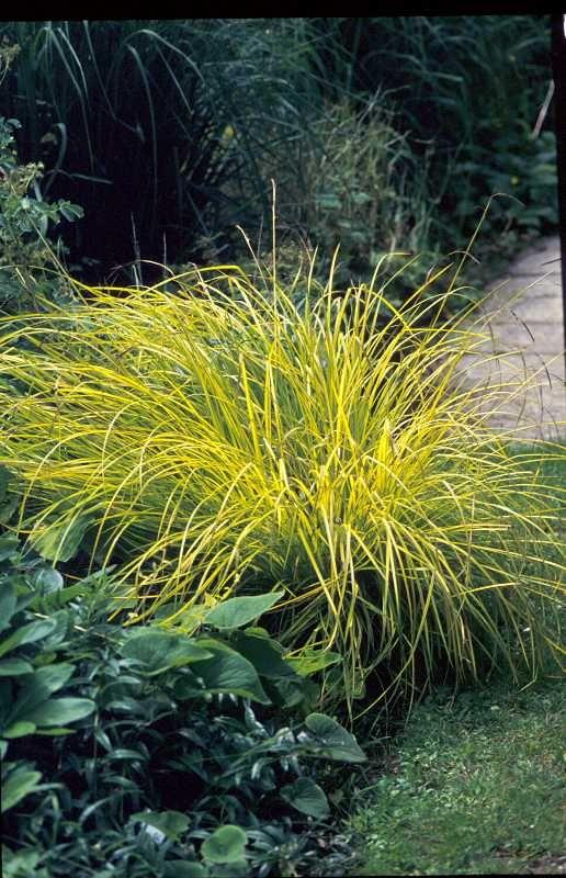 Carex elata 'Aurea'  Bowles' golden sedge  Rush or Sedge