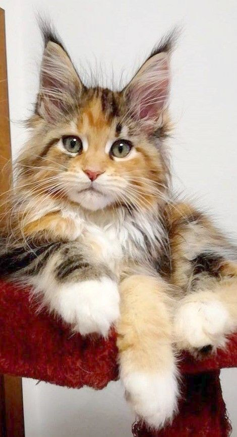 70eea1b39a Cats And Kittens Breeds Cats And Kittens Free To Good Home