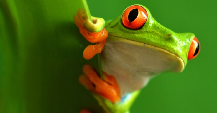 Learn all about one of the rainforest's more colourful residents! Red eyed tree frog facts for kids and adults, with information, pictures and video.