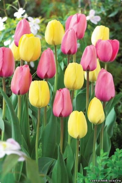 "Тюльпаны ""розовый лимонад"" - 500x750"