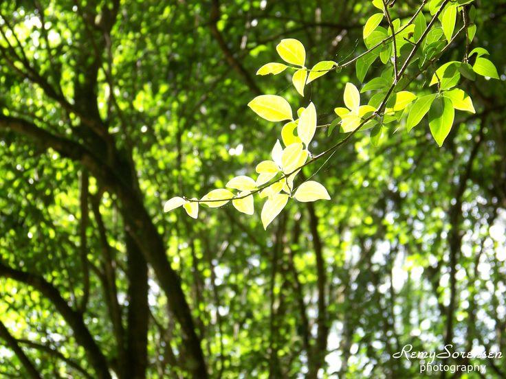 Sun lit leaves