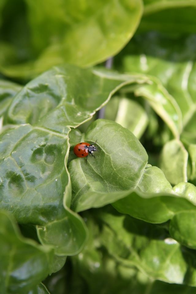 Lady bug approved organic spinachOrganic Spinach, Approved Organic, Bugs Approved, Yards Stuff, Lady Bugs, Veggies Plot