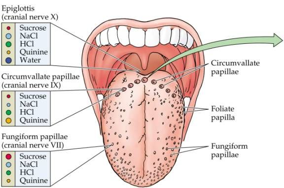 Gross anatomy of the tongue
