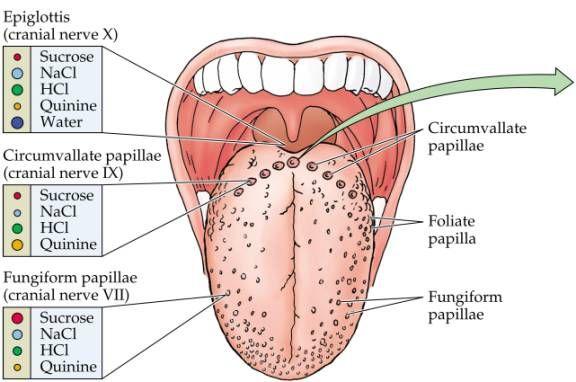 Gross anatomy of tongue