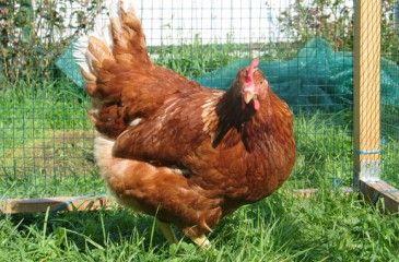 Разведение кур в домашних условиях для начинающих - видео. Выращивание, содержание, уход за курами и цыплятами
