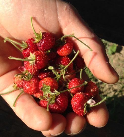 Wild strawberries!