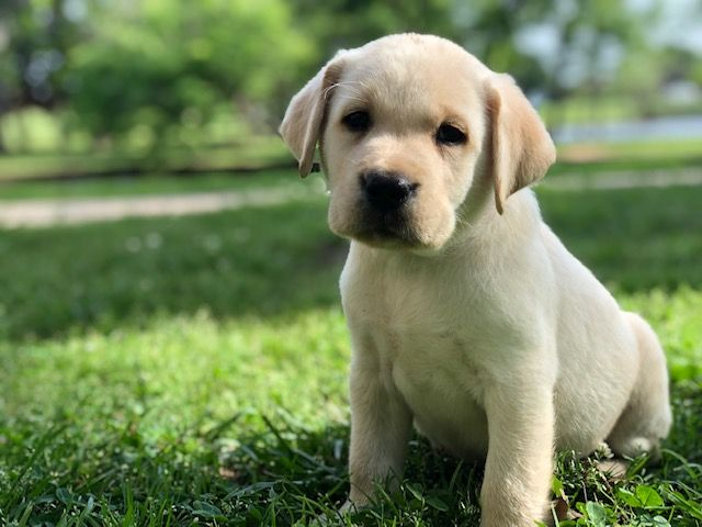 White English Labrador Puppies For Sale Available Lab Puppy White Lab Puppies White Labrador Puppy Lab Puppies