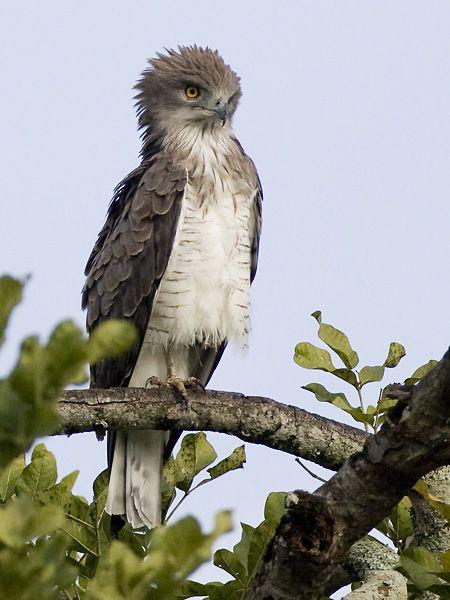 Beaudouins snake eagle - photo#1