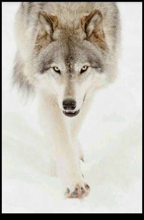 Pin by Nick Herndon on wolf inspirational quotes for