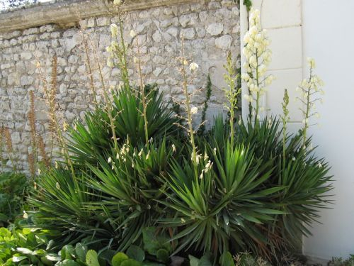 529 best plantes images on pinterest plants decks and for Plante yucca