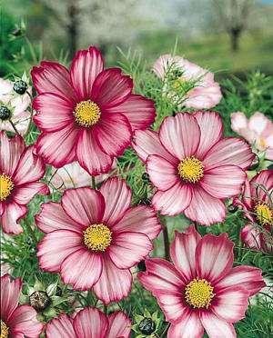Candy Stripe Cosmos from Jim's Favorite Flower Garden Seeds @ seedman.com