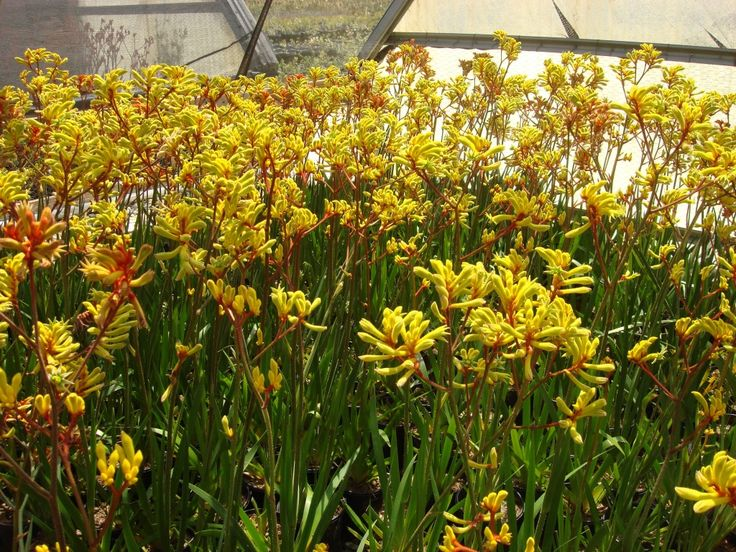 Anigozanthos gold velvet For some yellow in the g.beds