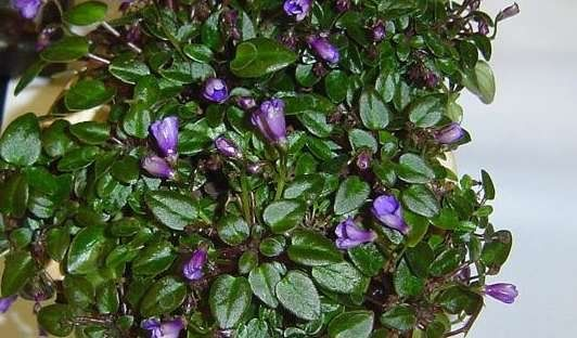 Saintpaulia  by begoniacrazii