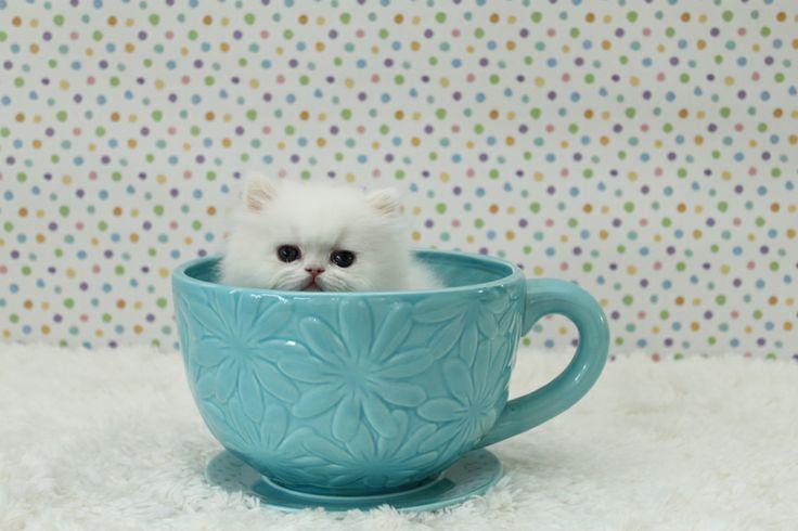Persian kittens for saleTeacup Persian kittens for sale