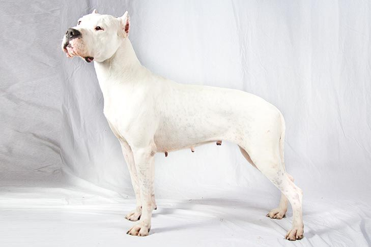 Dogo Argentino Dog Breed Information Dogs Akc Breeds Dog Breeds
